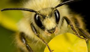 Bees officially labeled 'endangered species'