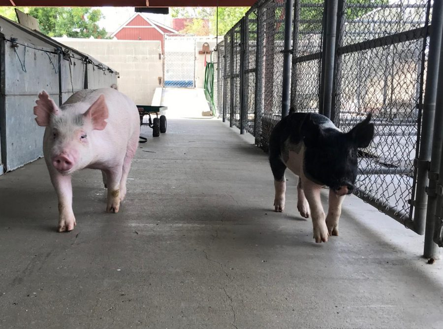 Pigs like Nico (left) and Autumn (right) are raised by FUHS students on campus for meat production. Photo by Aubrey Rynders.