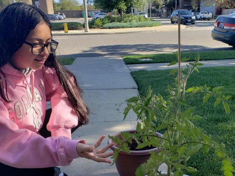 Tribe Tribune club editor Alejandra Rodriguez admires her unnamed green beans. Photo courtesy of Alejandra Rodriguez